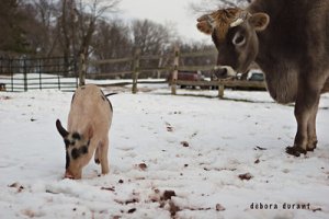 A curious cow and pig at Poplar Spring Animal Sanctuary